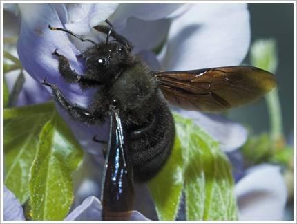 Holzbiene beim Nektarraub