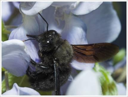 Rüssel der Holzbiene: gleich beißt sie zu