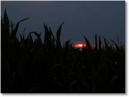 Das Auge im Maisfeld