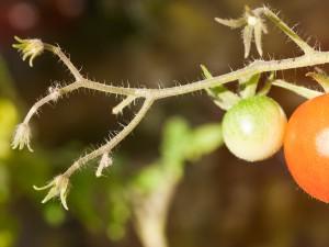Tomatenpflanze im Abendlicht