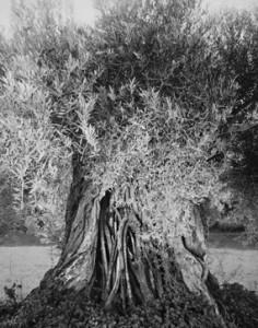 """Aus """"Götterbäume"""" von Christian von Alvensleben"""