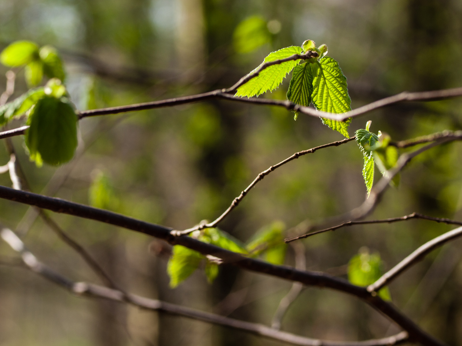 Frühling im BuchenwaldSpring in the beech wood