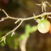 Die Schönheit der Tomatenpflanze